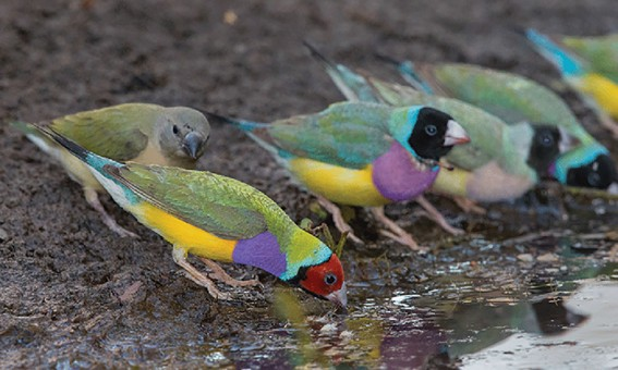 Research-gouldian_water_image.jpg